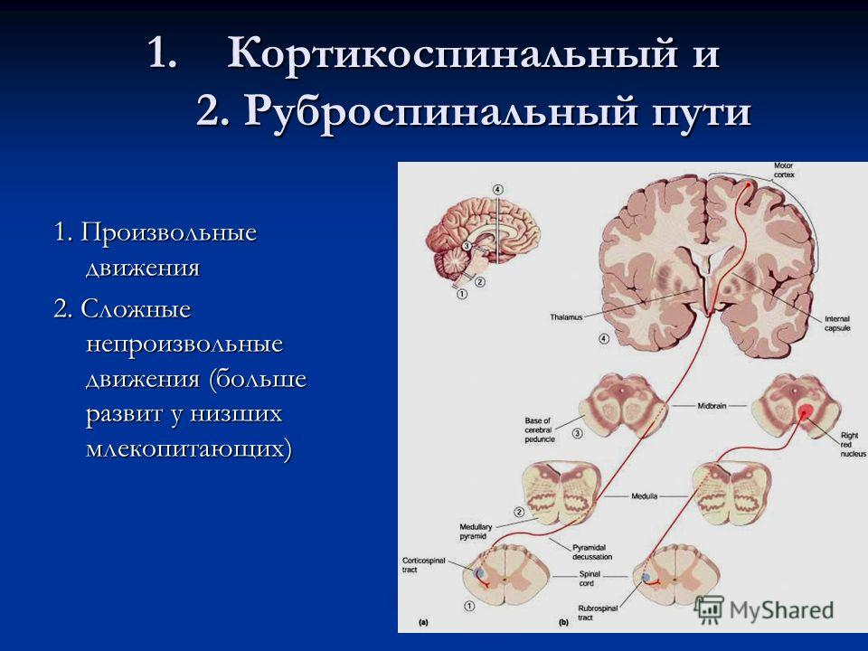 1.Кортикоспинальный и 2. Руброспинальный пути 1. Произвольные движения 2. Сложные непроизвольные движения (больше развит у низших млекопитающих)