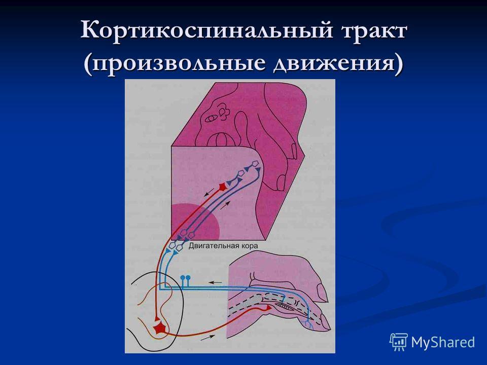 Кортикоспинальный тракт (произвольные движения)