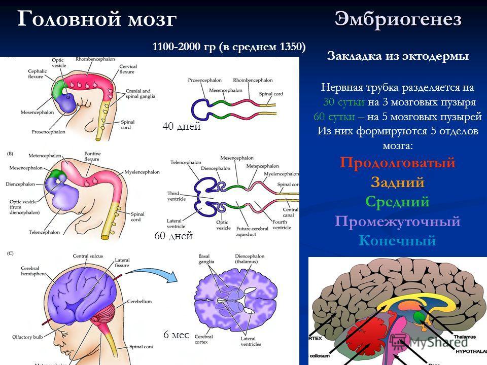 Эмбриогенез 40 дней 60 дней 6 мес Закладка из эктодермы Нервная трубка разделяется на 30 сутки на 3 мозговых пузыря 60 сутки – на 5 мозговых пузырей Из них формируются 5 отделов мозга: Продолговатый Задний Средний Промежуточный Конечный Головной мозг