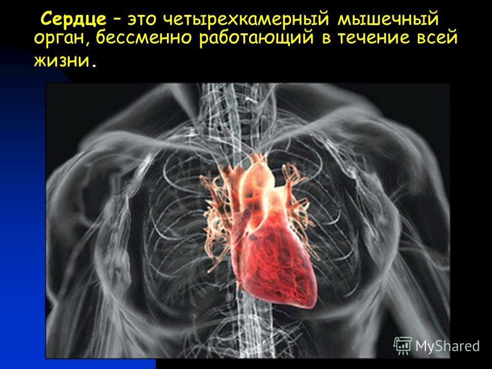 Сердце – это четырехкамерный мышечный орган, бессменно работающий в течение всей жизни.