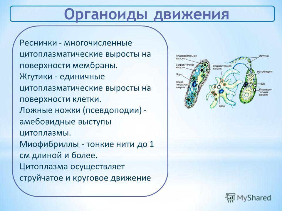 Органоиды движения Реснички - многочисленные цитоплазматические выросты на поверхности мембраны. Жгутики - единичные цитоплазматические выросты на поверхности клетки. Ложные ножки (псевдоподии) - амебовидные выступы цитоплазмы. Миофибриллы - тонкие н