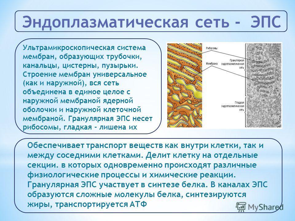Эндоплазматическая сеть - ЭПС Ультрамикроскопическая система мембран, образующих трубочки, канальцы, цистерны, пузырьки. Строение мембран универсальное (как и наружной), вся сеть объединена в единое целое с наружной мембраной ядерной оболочки и наруж