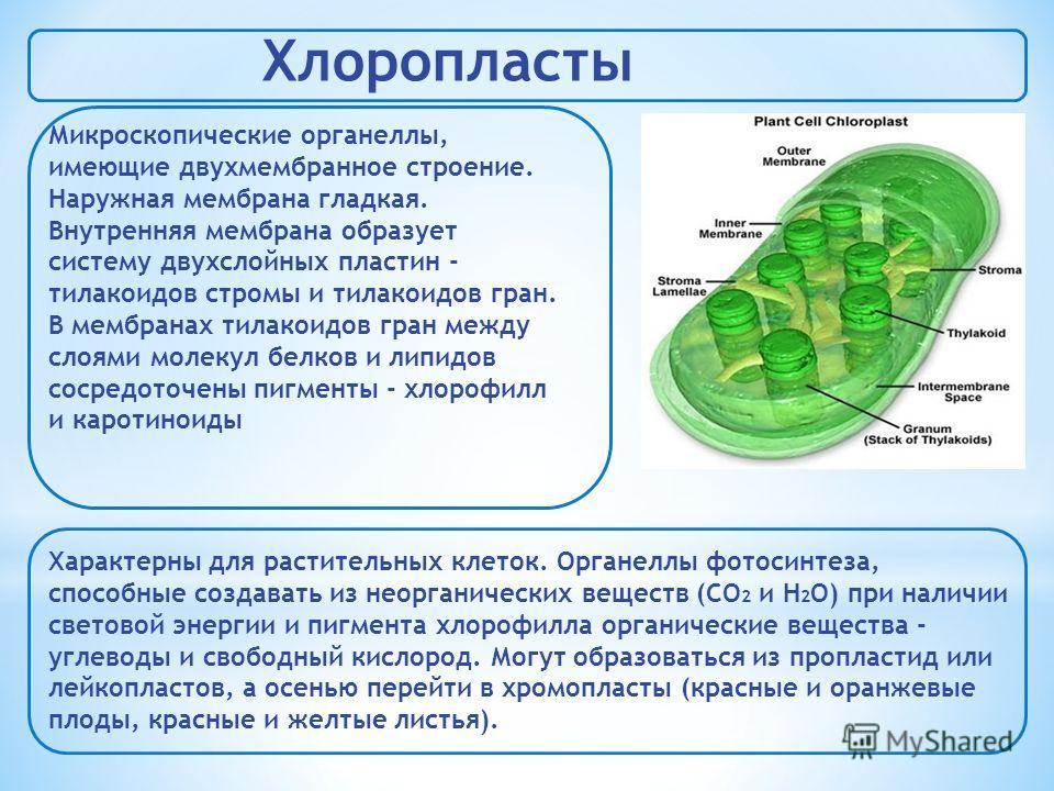 Хлоропласты Микроскопические органеллы, имеющие двухмембранное строение. Наружная мембрана гладкая. Внутренняя мембрана образует систему двухслойных пластин - тилакоидов стромы и тилакоидов гран. В мембранах тилакоидов гран между слоями молекул белко