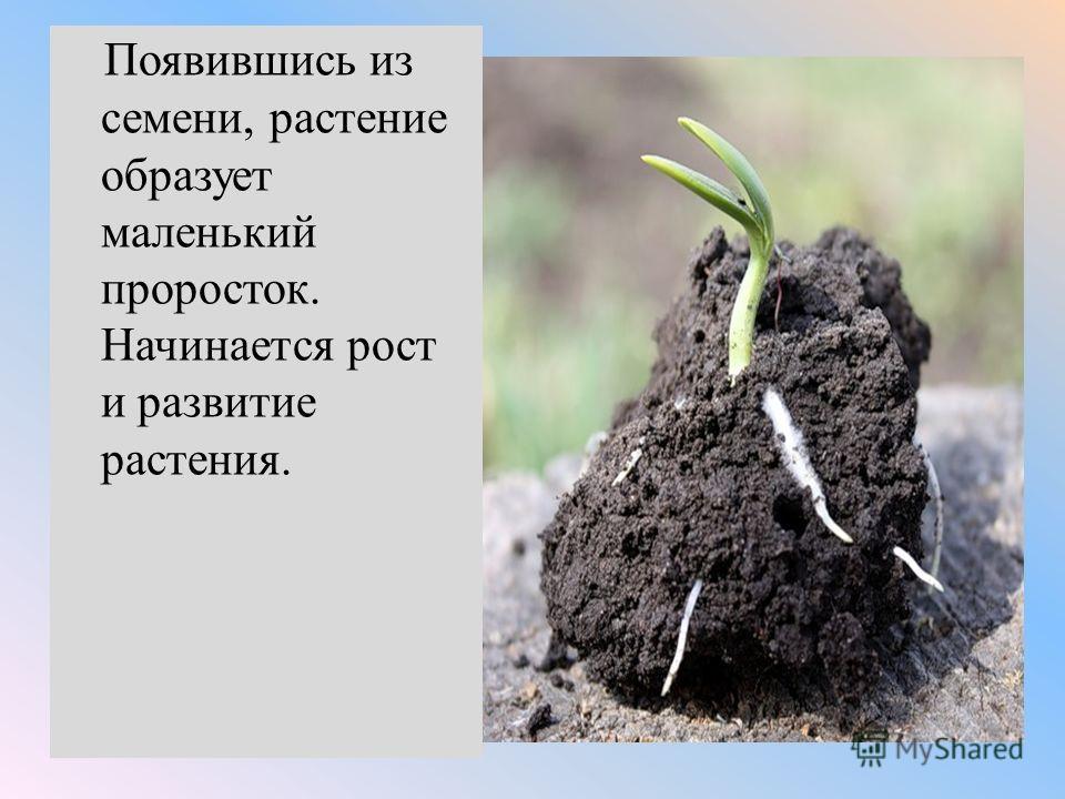 Появившись из семени, растение образует маленький проросток. Начинается рост и развитие растения.