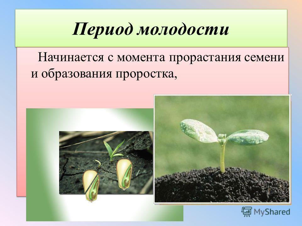 Период молодости Начинается с момента прорастания семени и образования проростка,