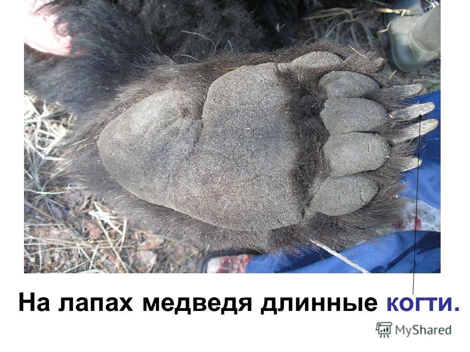 На лапах медведя длинные когти.