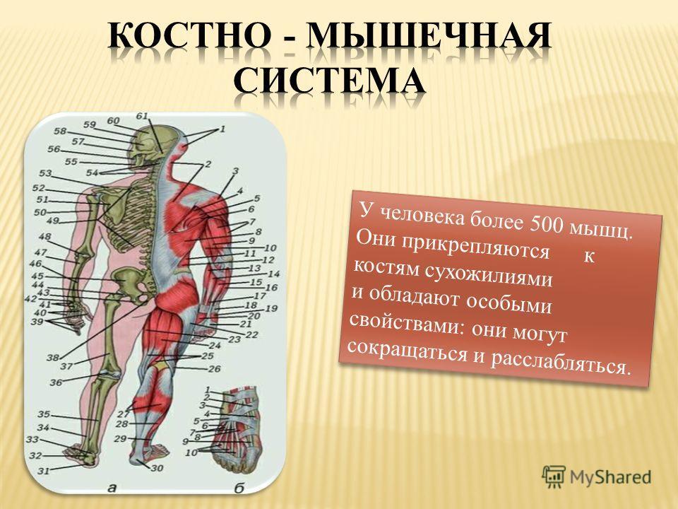 У человека более 500 мышц. Они прикрепляются к костям сухожилиями и обладают особыми свойствами: они могут сокращаться и расслабляться.