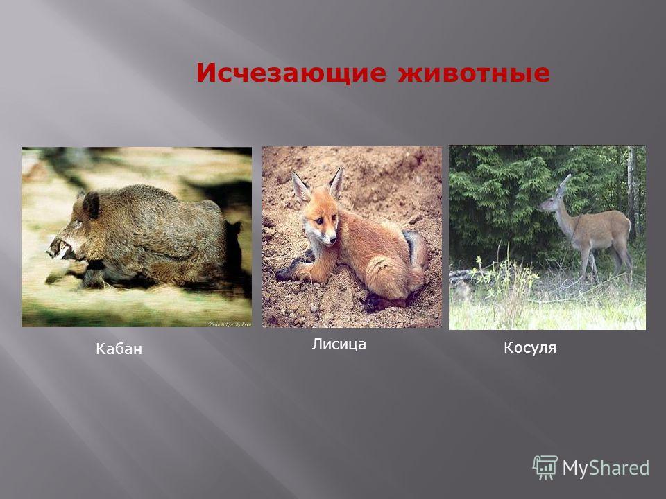 Кабан Лисица Косуля Исчезающие животные