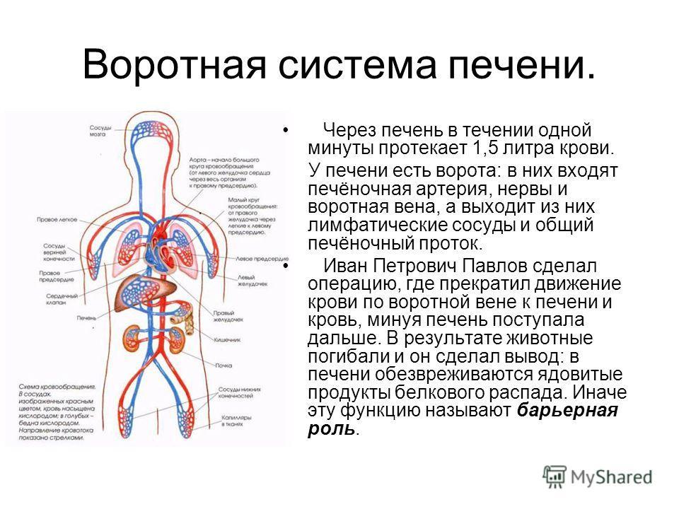 Воротная система печени. Через печень в течении одной минуты протекает 1,5 литра крови. У печени есть ворота: в них входят печёночная артерия, нервы и воротная вена, а выходит из них лимфатические сосуды и общий печёночный проток. Иван Петрович Павло