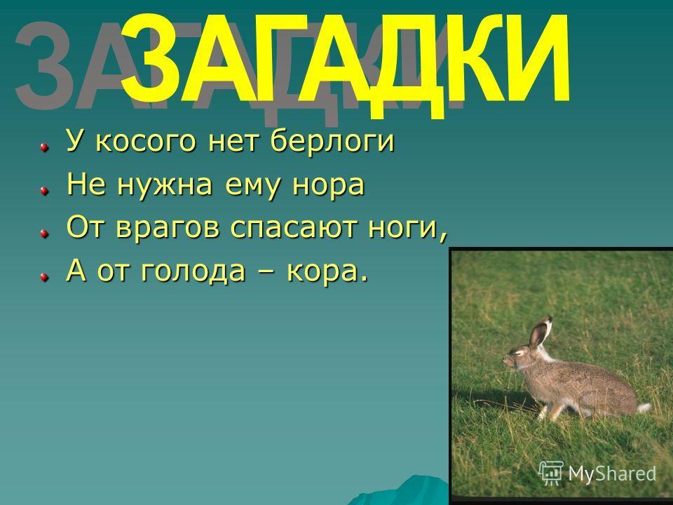 У косого нет берлоги Не нужна ему нора От врагов спасают ноги, А от голода – кора.