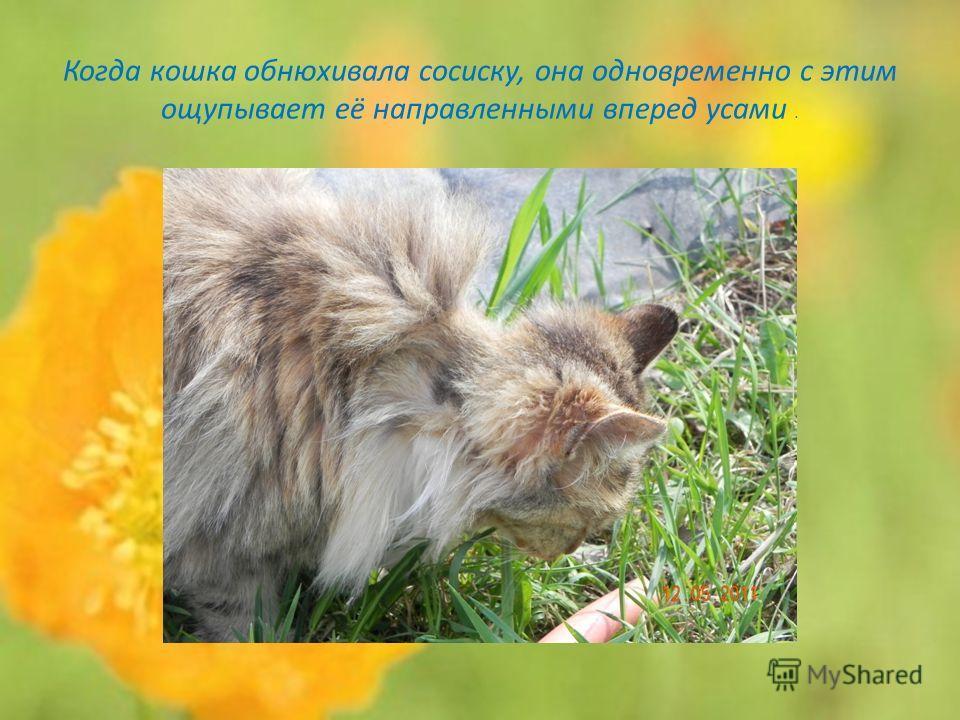 Когда кошка обнюхивала сосиску, она одновременно с этим ощупывает её направленными вперед усами.