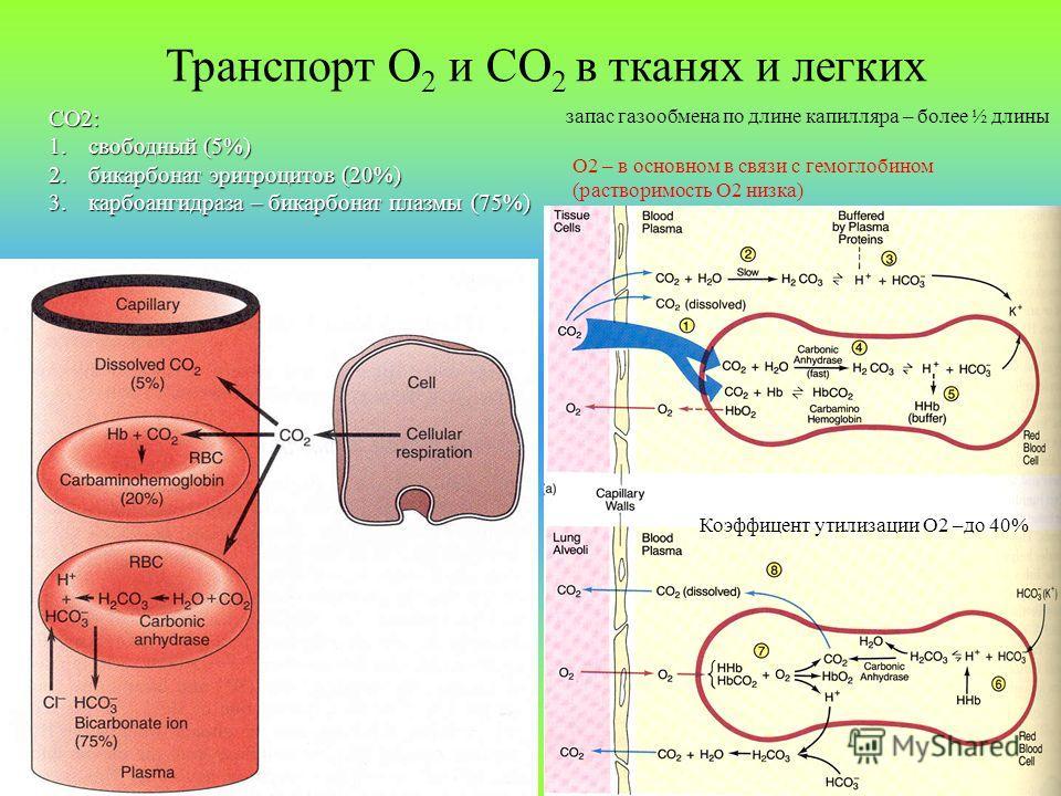 Транспорт О 2 и СО 2 в тканях и легких СО2: 1.свободный (5%) 2.бикарбонат эритроцитов (20%) 3.карбоангидраза – бикарбонат плазмы (75%) запас газообмена по длине капилляра – более ½ длины О2 – в основном в связи с гемоглобином (растворимость О2 низка)