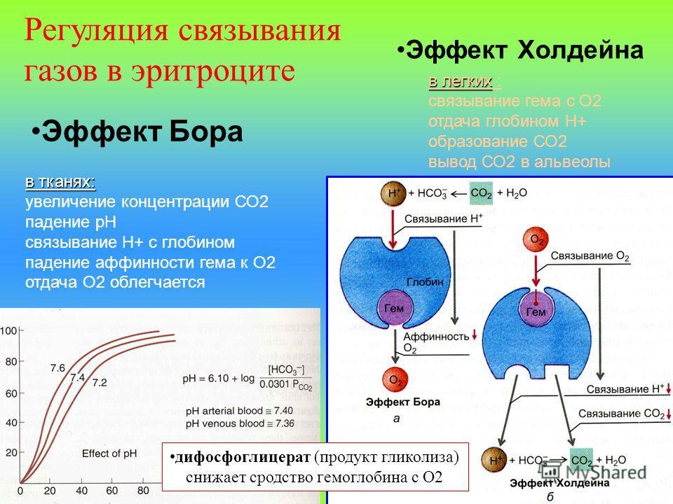 Эффект Бора в тканях: увеличение концентрации СО2 падение рН связывание Н+ с глобином падение аффинности гема к О2 отдача О2 облегчается в легких в легких : связывание гема с О2 отдача глобином Н+ образование СО2 вывод СО2 в альвеолы Эффект Холдейна