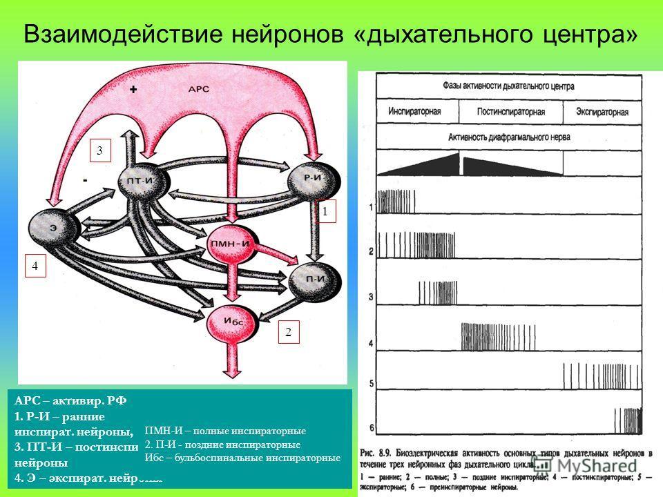 Взаимодействие нейронов «дыхательного центра» + - 1 3 4 2 АРС – активир. РФ 1. Р-И – ранние инспират. нейроны, 3. ПТ-И – постинспир. нейроны 4. Э – экспират. нейроны ПМН-И – полные инспираторные 2. П-И - поздние инспираторные Ибс – бульбоспинальные и