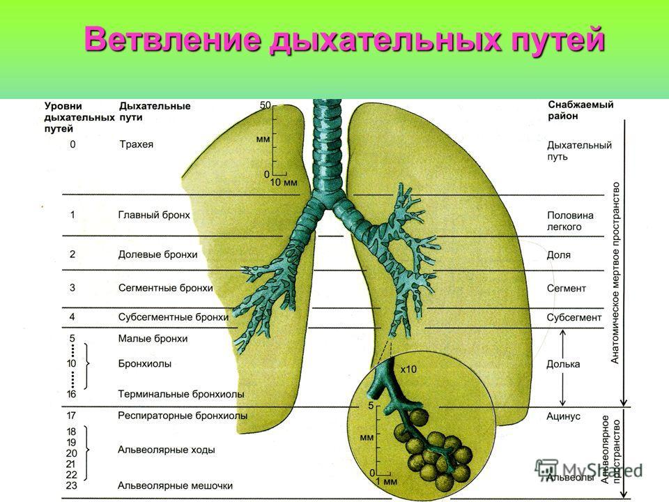 Ветвление дыхательных путей