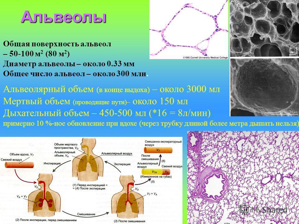 Общая поверхность альвеол – 50-100 м 2 (80 м 2 ) Диаметр альвеолы – около 0.33 мм Общее число альвеол – около 300 млн. Альвеолярный объем (в конце выдоха) – около 3000 мл Мертвый объем (проводящие пути)– около 150 мл Дыхательный объем – 450-500 мл (*