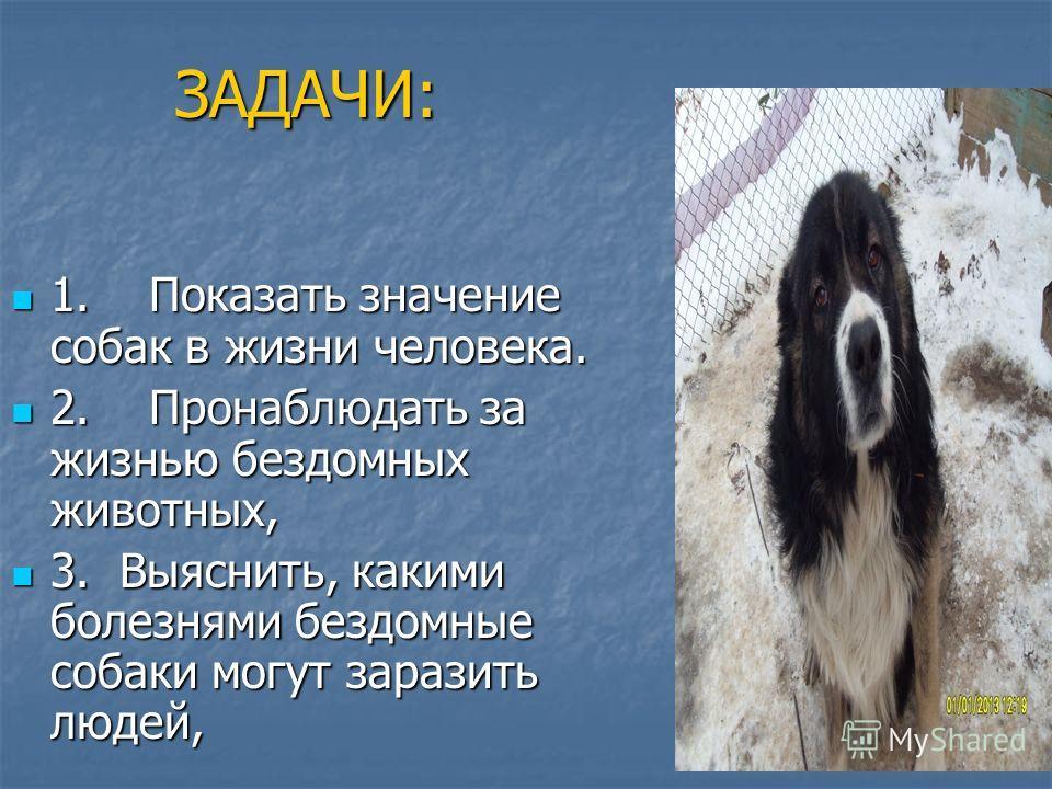 ЗАДАЧИ: 1. Показать значение собак в жизни человека. 1. Показать значение собак в жизни человека. 2. Пронаблюдать за жизнью бездомных животных, 2. Пронаблюдать за жизнью бездомных животных, 3. Выяснить, какими болезнями бездомные собаки могут заразит
