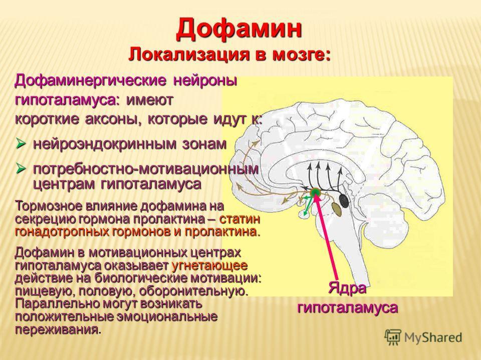 Дневное отделение фармацевтического факультета Ядра гипоталамуса Дофамин Локализация в мозге: Дофаминергические нейроны гипоталамуса: имеют короткие аксоны, которые идут к: нейроэндокринным зонам нейроэндокринным зонам потребностно-мотивационным цент