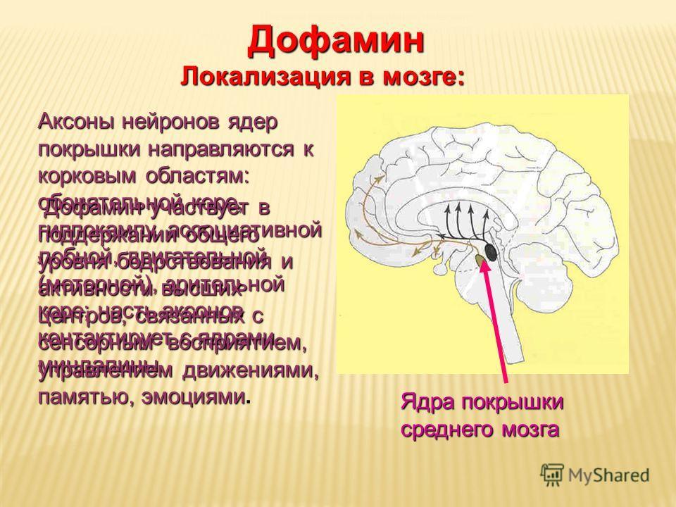 Дневное отделение фармацевтического факультета Ядра покрышки среднего мозга Дофамин Локализация в мозге: Аксоны нейронов ядер покрышки направляются к корковым областям: обонятельной коре, гиппокампу, ассоциативной лобной, двигательной (моторной), зри