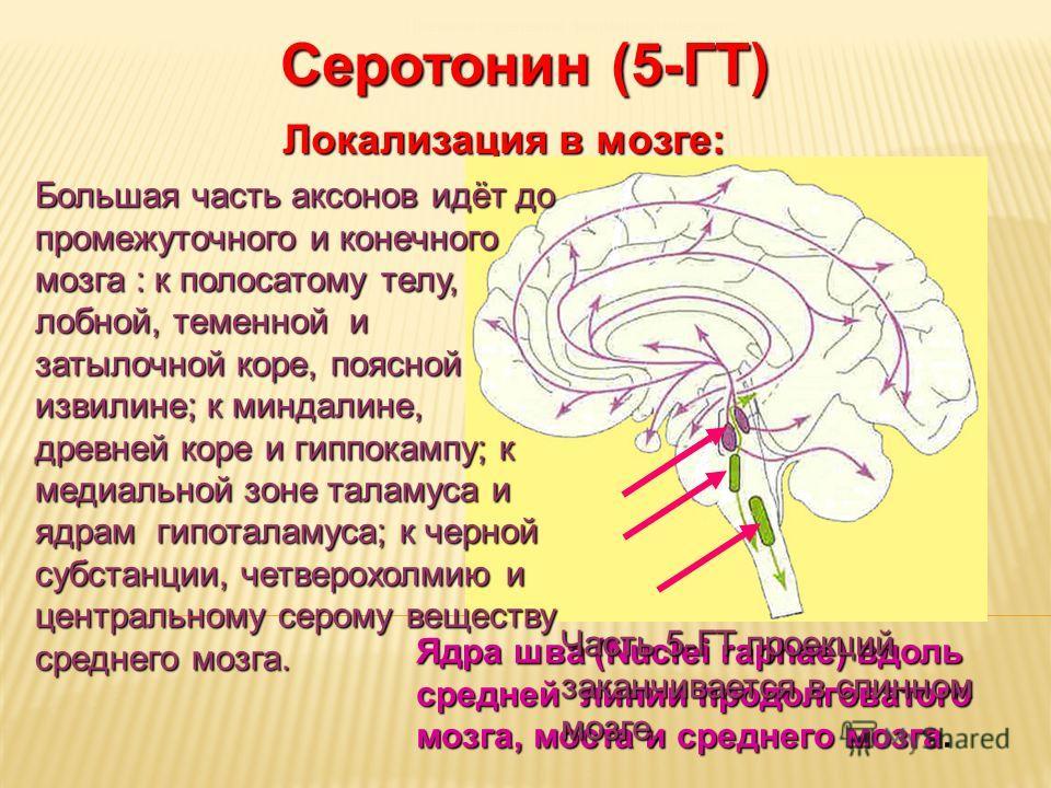 Дневное отделение фармацевтического факультета Серотонин (5-ГТ) Локализация в мозге: Ядра шва (Nuclei raphae) вдоль средней линии продолговатого мозга, моста и среднего мозга Ядра шва (Nuclei raphae) вдоль средней линии продолговатого мозга, моста и
