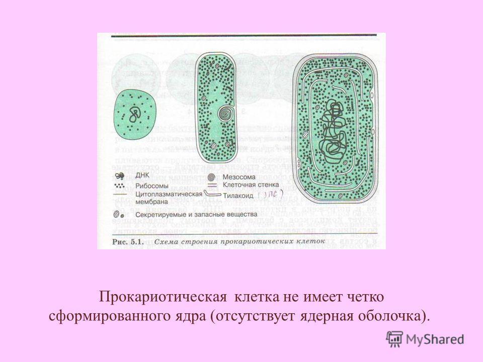 Прокариотическая клетка не имеет четко сформированного ядра (отсутствует ядерная оболочка).
