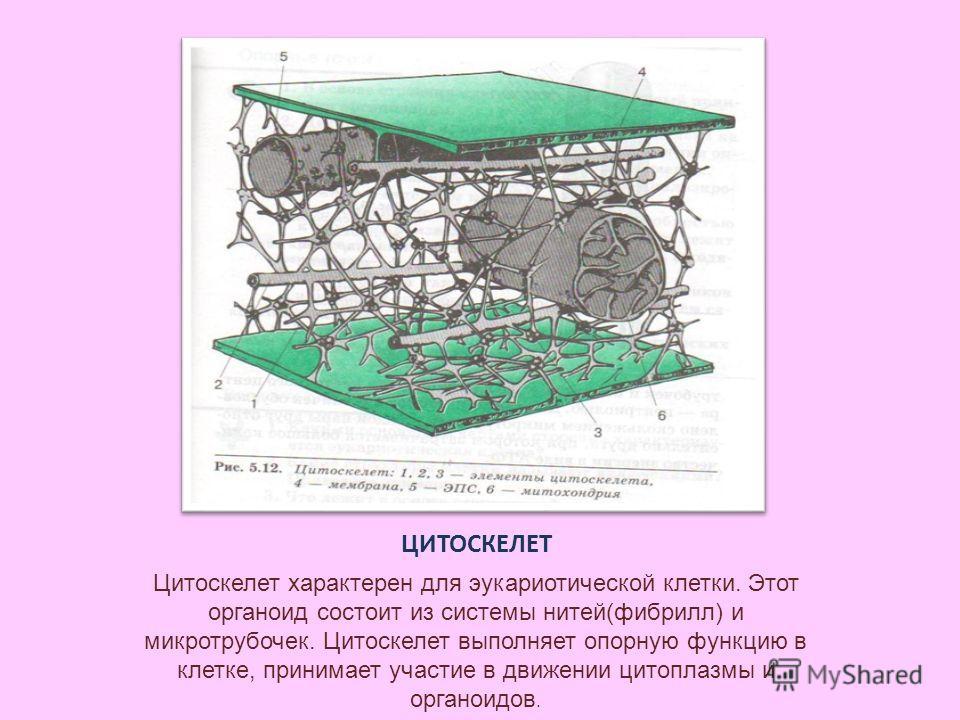 ЦИТОСКЕЛЕТ Цитоскелет характерен для эукариотической клетки. Этот органоид состоит из системы нитей(фибрилл) и микротрубочек. Цитоскелет выполняет опорную функцию в клетке, принимает участие в движении цитоплазмы и органоидов.