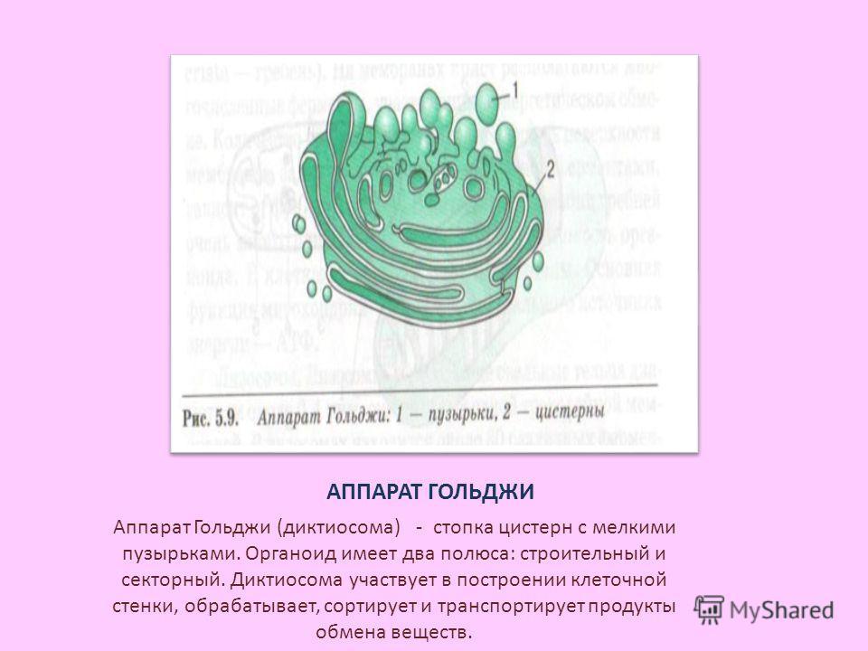 АППАРАТ ГОЛЬДЖИ Аппарат Гольджи (диктиосома) - стопка цистерн с мелкими пузырьками. Органоид имеет два полюса: строительный и секторный. Диктиосома участвует в построении клеточной стенки, обрабатывает, сортирует и транспортирует продукты обмена веще