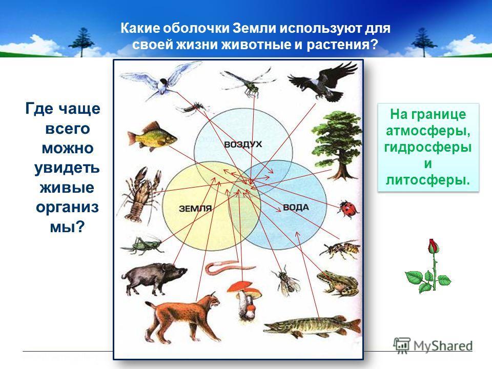 Какие оболочки Земли используют для своей жизни животные и растения? Где чаще всего можно увидеть живые организ мы? На границе атмосферы, гидросферы и литосферы.