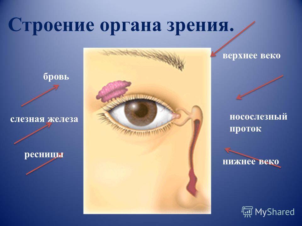 Строение органа зрения. бровь слезная железа ресницы носослезный проток верхнее веко нижнее веко