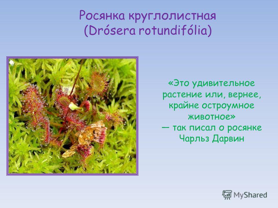 «Это удивительное растение или, вернее, крайне остроумное животное» так писал о росянке Чарльз Дарвин Росянка круглолистная (Drósera rotundifólia)