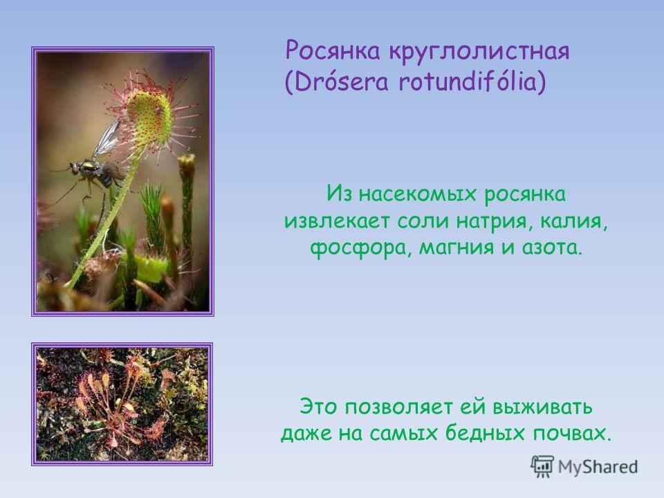 Из насекомых росянка извлекает соли натрия, калия, фосфора, магния и азота. Это позволяет ей выживать даже на самых бедных почвах. Росянка круглолистная (Drósera rotundifólia)