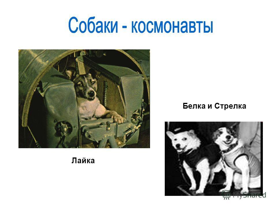 Лайка Белка и Стрелка