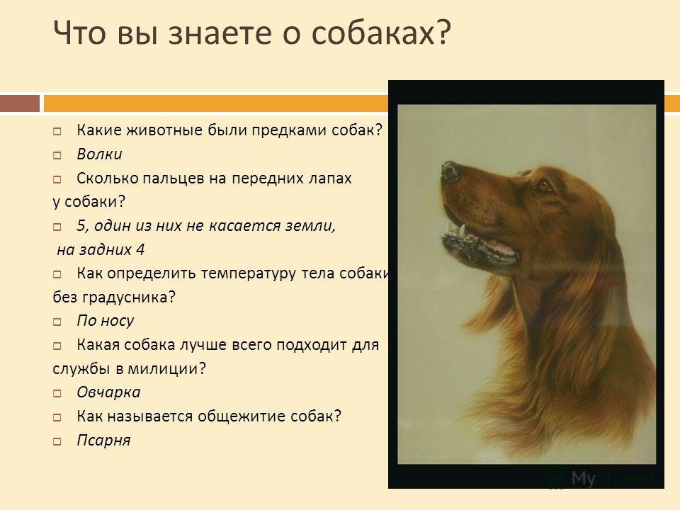 Что вы знаете о собаках ? Какие животные были предками собак ? Волки Сколько пальцев на передних лапах у собаки ? 5, один из них не касается земли, на задних 4 Как определить температуру тела собаки без градусника ? По носу Какая собака лучше всего п