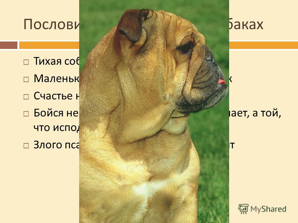 Пословицы и поговорки о собаках Тихая собака пуще кусает Маленькая собачка до старости щенок Счастье наше собаки съели Бойся не той собаки, которая громко лает, а той, что исподтишка кусает Злого пса и после смерти долго помнят
