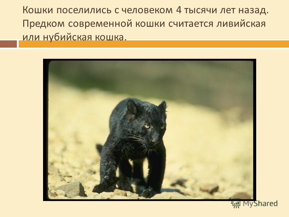 Кошки поселились с человеком 4 тысячи лет назад. Предком современной кошки считается ливийская или нубийская кошка.