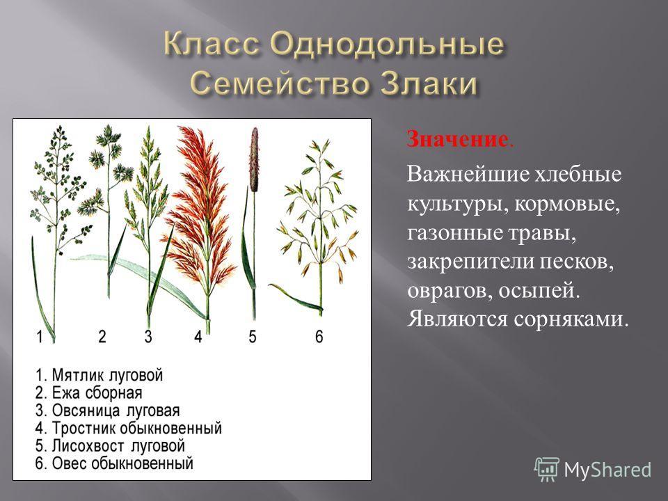 Значение. Важнейшие хлебные культуры, кормовые, газонные травы, закрепители песков, оврагов, осыпей. Являются сорняками.