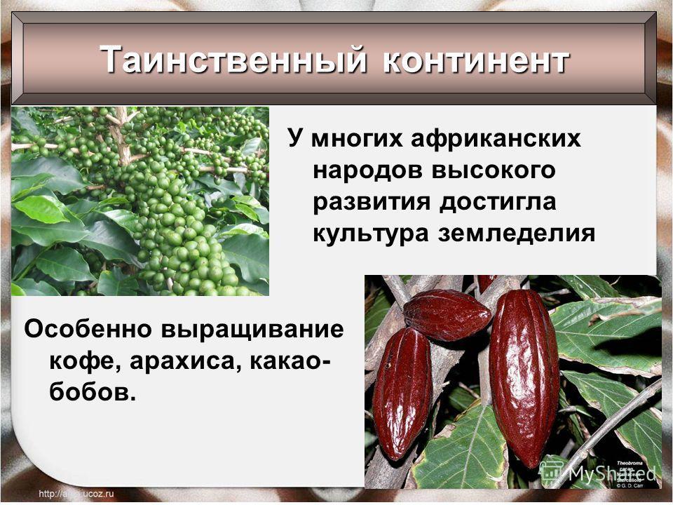 У многих африканских народов высокого развития достигла культура земледелия Таинственный континент Особенно выращивание кофе, арахиса, какао- бобов.