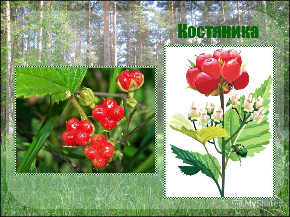 Костяника Расту я в сосновом бору. На верхушке стебля – ягода из 3 – 4 плодиков. Внутри каждого - косточка. Отсюда и моё название.