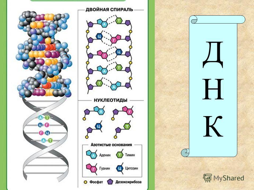 ДНКДНК