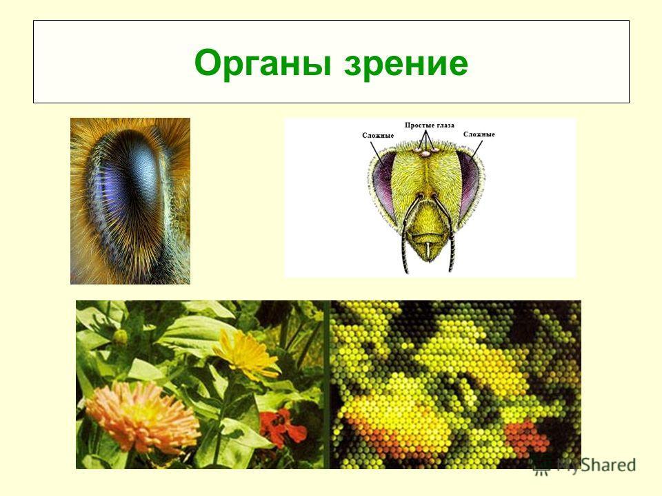 Органы зрение