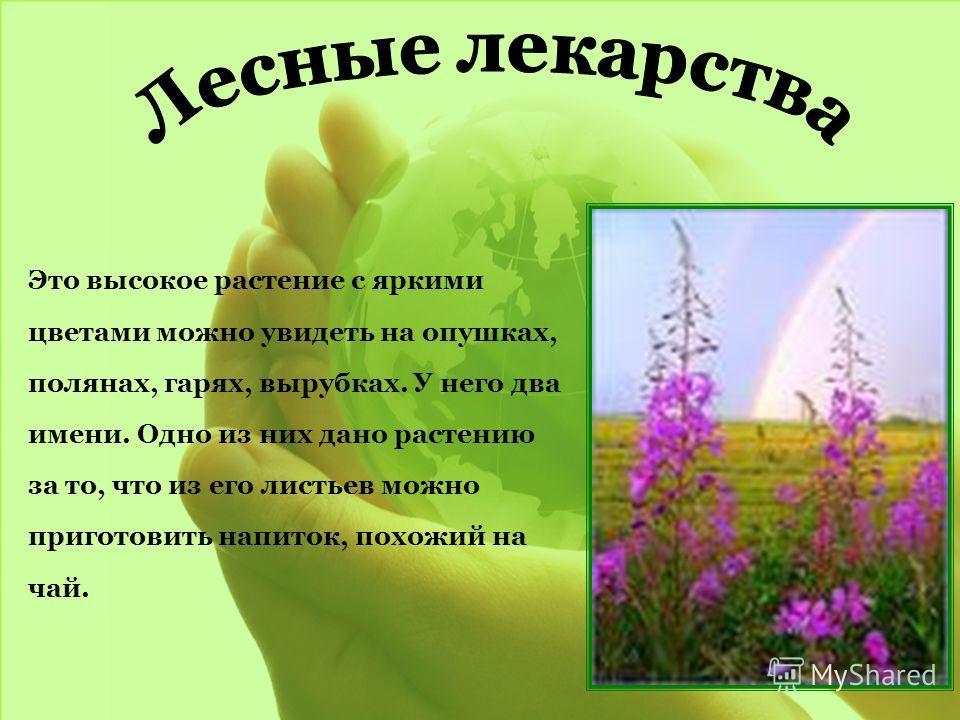 Это высокое растение с яркими цветами можно увидеть на опушках, полянах, гарях, вырубках. У него два имени. Одно из них дано растению за то, что из его листьев можно приготовить напиток, похожий на чай.