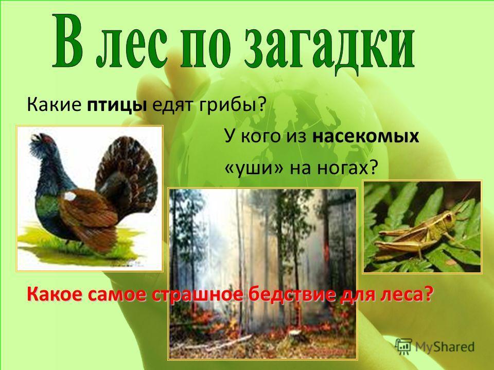 Какие птицы едят грибы? У кого из насекомых «уши» на ногах? Какое самое страшное бедствие для леса?