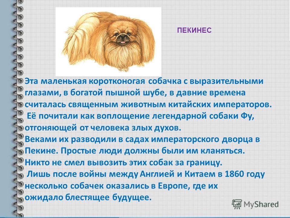 Эта маленькая коротконогая собачка с выразительными глазами, в богатой пышной шубе, в давние времена считалась священным животным китайских императоров. Её почитали как воплощение легендарной собаки Фу, отгоняющей от человека злых духов. Веками их ра