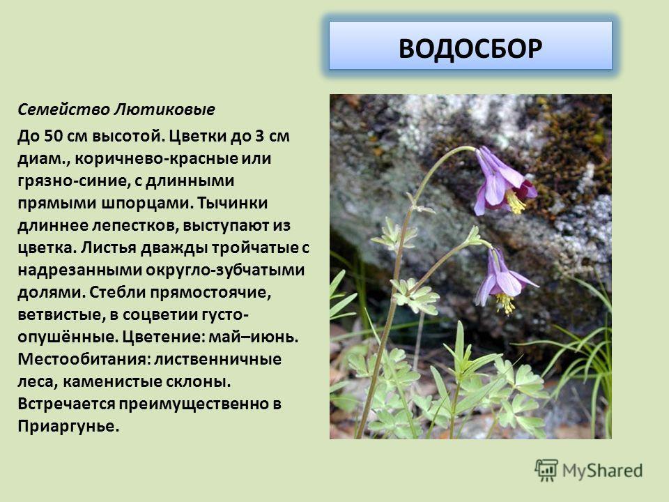 ВОДОСБОР Семейство Лютиковые До 50 см высотой. Цветки до 3 см диам., коричнево-красные или грязно-синие, с длинными прямыми шпорцами. Тычинки длиннее лепестков, выступают из цветка. Листья дважды тройчатые с надрезанными округло-зубчатыми долями. Сте