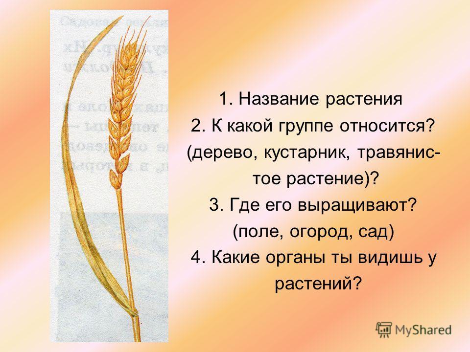 1. Название растения 2. К какой группе относится? (дерево, кустарник, травянис- тое растение)? 3. Где его выращивают? (поле, огород, сад) 4. Какие органы ты видишь у растений?