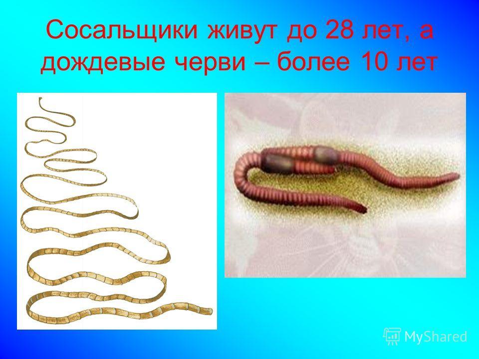 Сосальщики живут до 28 лет, а дождевые черви – более 10 лет