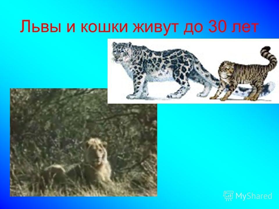 Львы и кошки живут до 30 лет