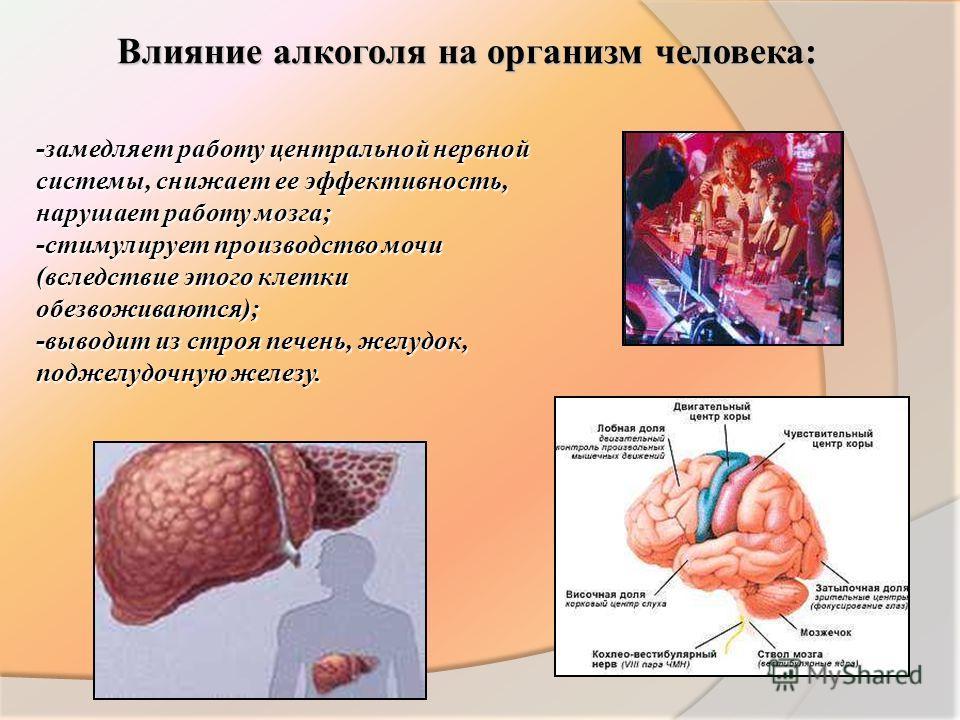 Влияние алкоголя на организм человека: -замедляет работу центральной нервной системы, снижает ее эффективность, нарушает работу мозга; -стимулирует производство мочи (вследствие этого клетки обезвоживаются); -выводит из строя печень, желудок, поджелу