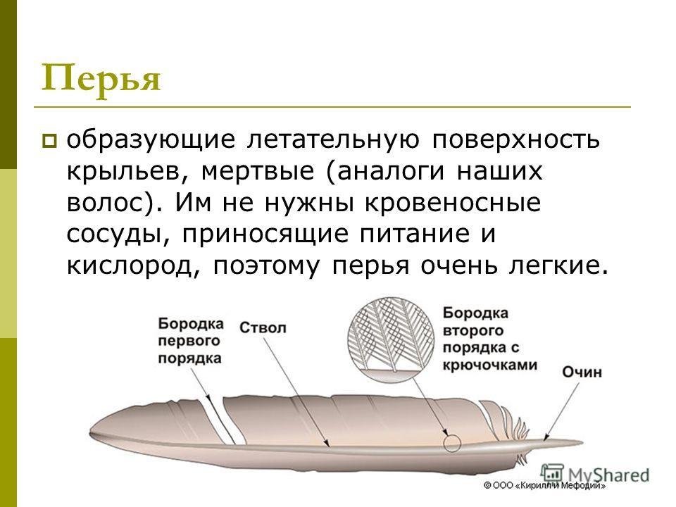 Перья образующие летательную поверхность крыльев, мертвые (аналоги наших волос). Им не нужны кровеносные сосуды, приносящие питание и кислород, поэтому перья очень легкие.