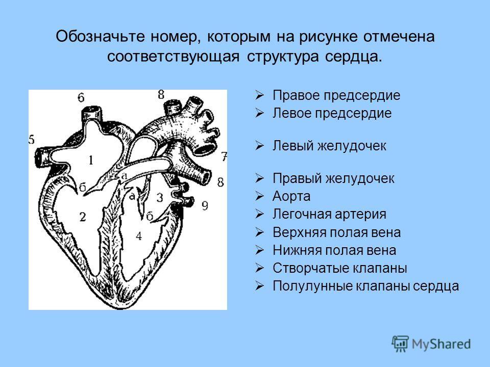 Обозначьте номер, которым на рисунке отмечена соответствующая структура сердца. Правое предсердие Левое предсердие Левый желудочек Правый желудочек Аорта Легочная артерия Верхняя полая вена Нижняя полая вена Створчатые клапаны Полулунные клапаны сер